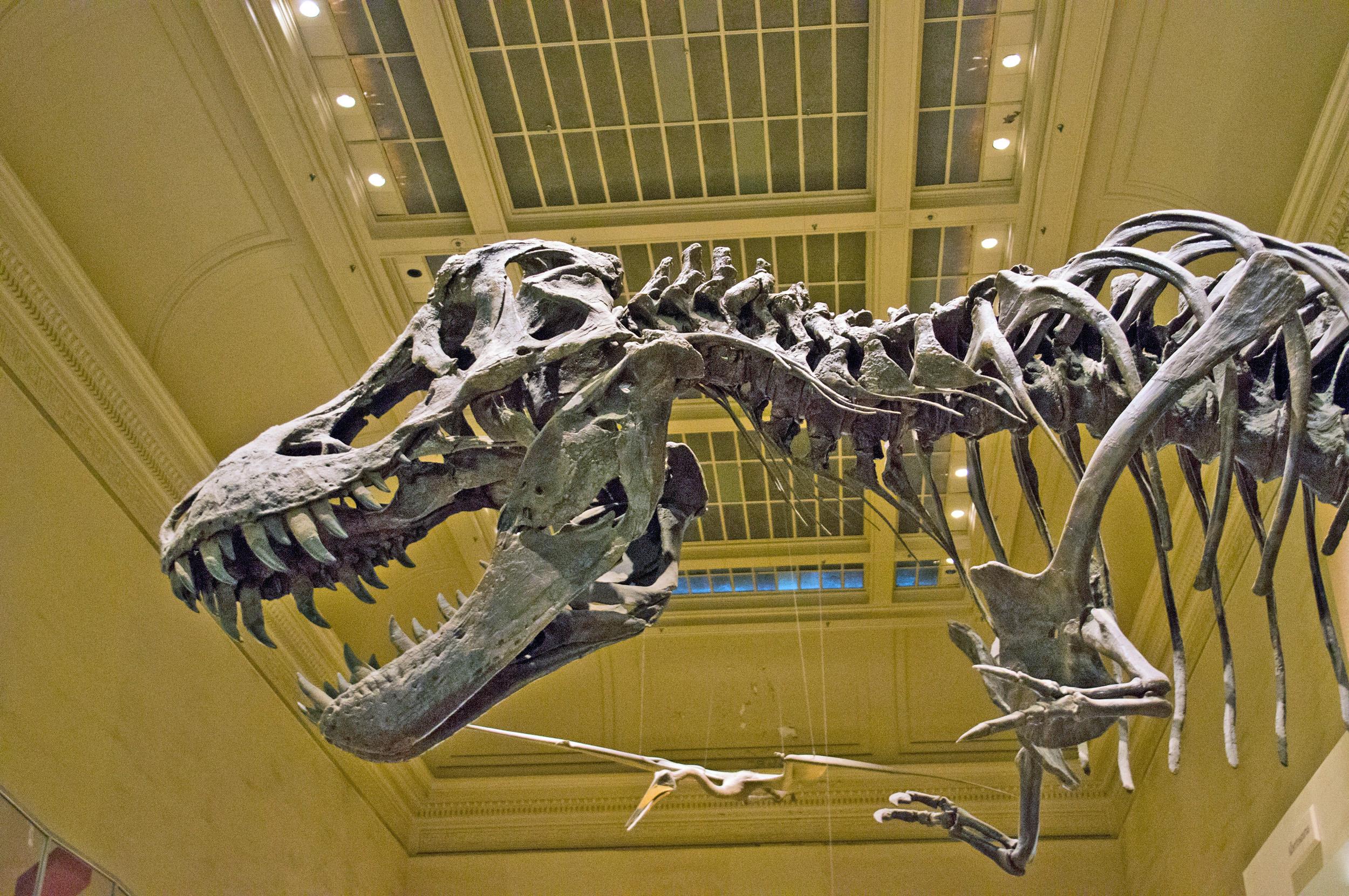 File Tyrannosaurus Rex skeleton is on display in the Dinosaurs hall at    Tyrannosaurus Skeleton In Museum
