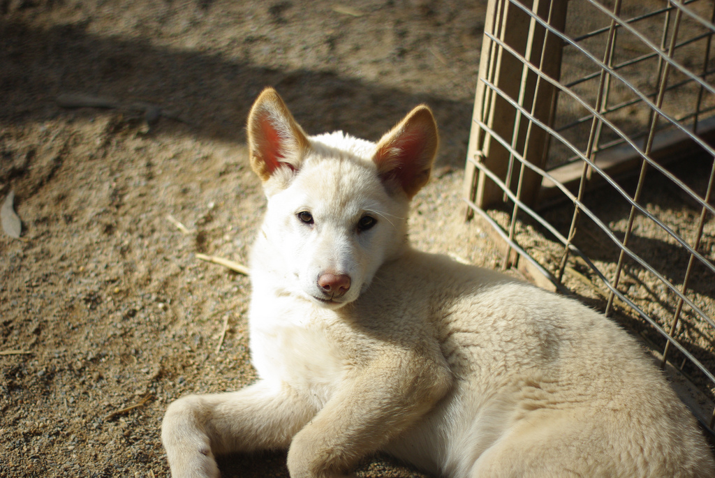 Newborn Coyote File:White Dingo pup.j...