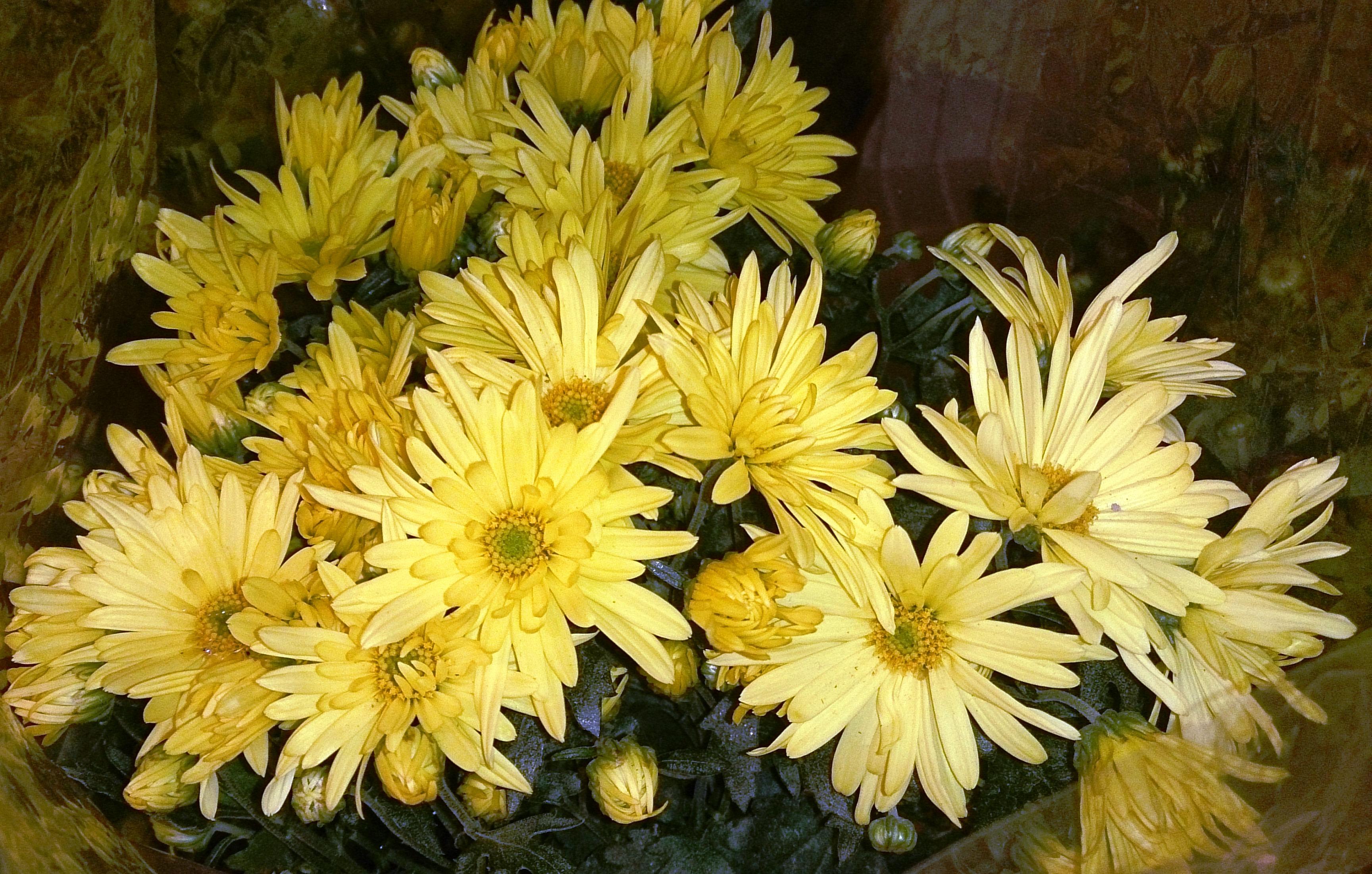 Fileyellow Chrysanthemum Flowersg Wikimedia Commons