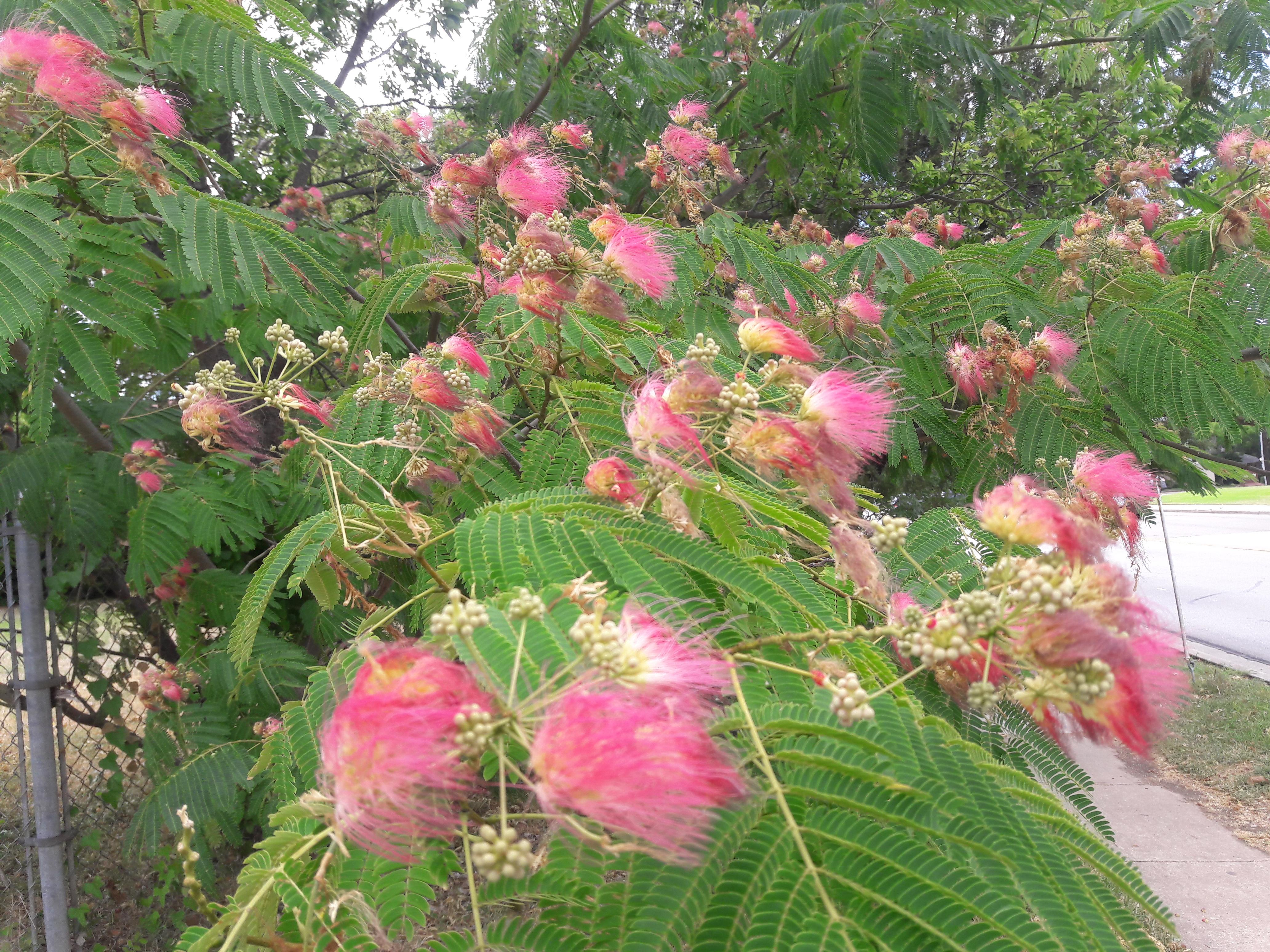 File1 Flores Rosadas Texas Pink Flower Tree 3g Wikimedia Commons