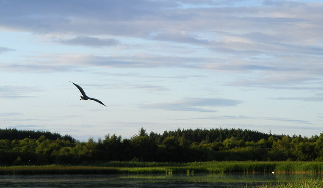 A Heron in flight at Loch Spynie - geograph.org.uk - 1408177
