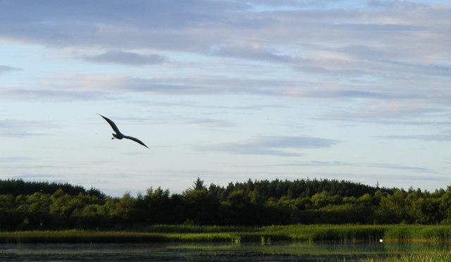 A Heron in flight at Loch Spynie - geograph.org.uk - 1408177