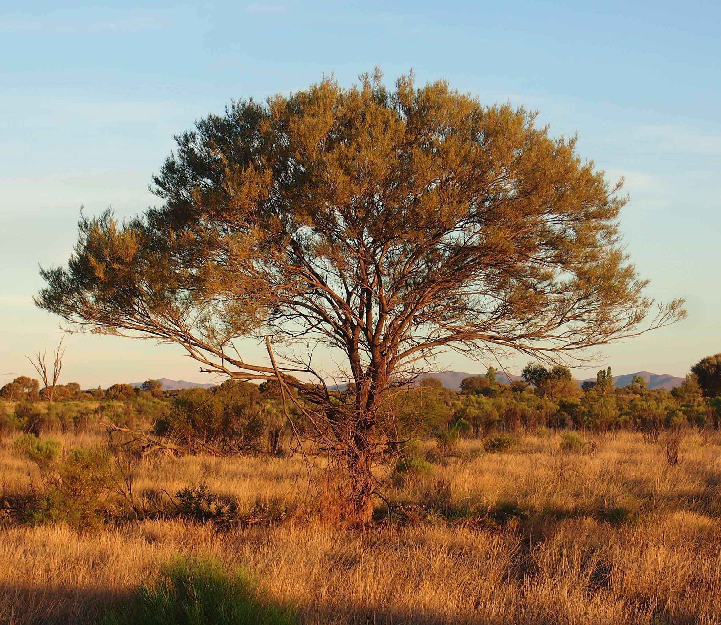 Acacia Aneura Wikipedia