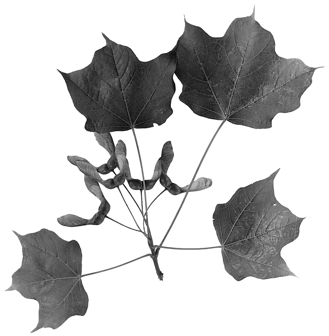 Fileacer Nigrum Leaves 1png Wikimedia Commons