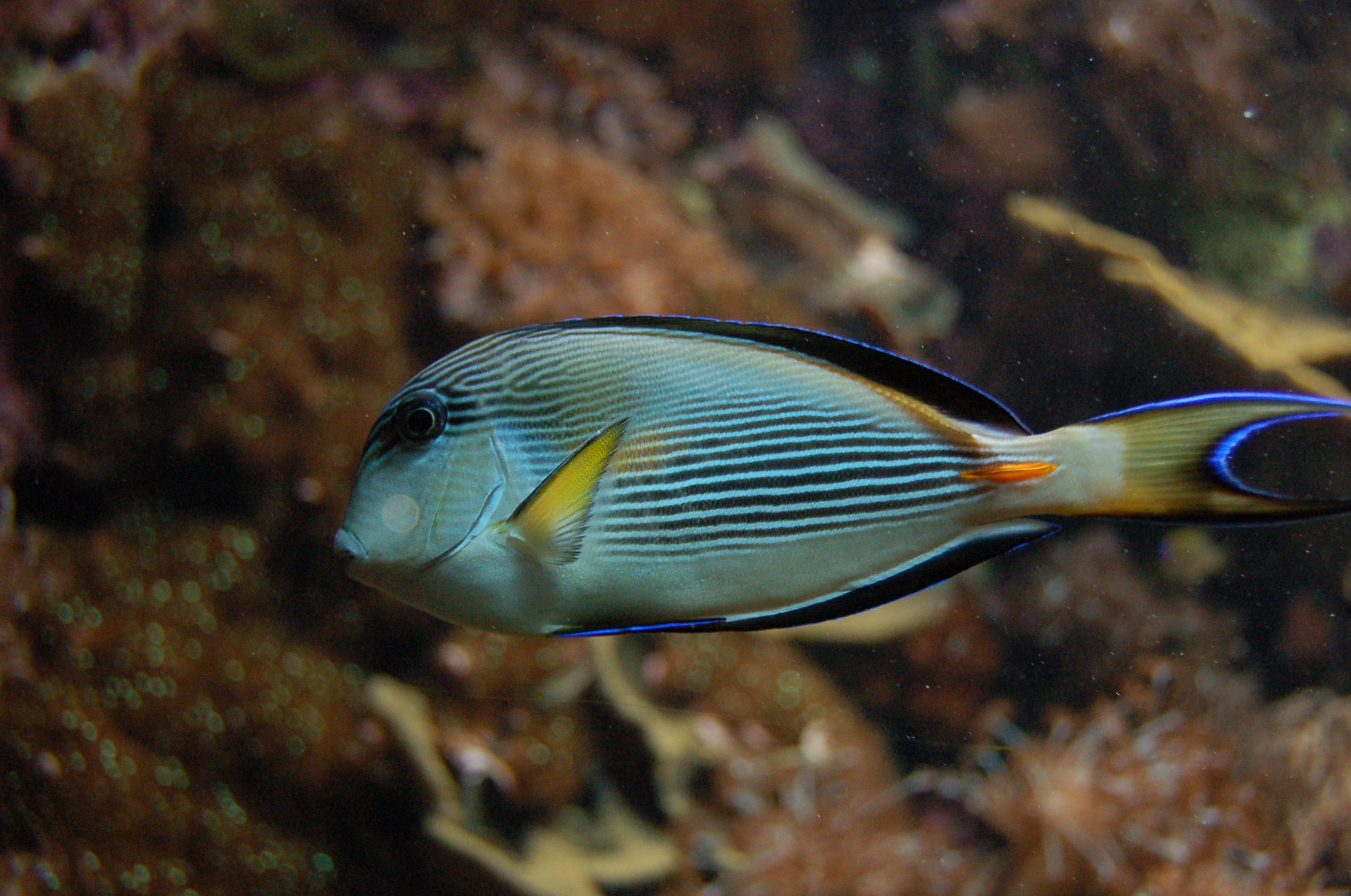 File:Aquarium tropical du Palais de la Porte Doree - Acanthurus sohal ...