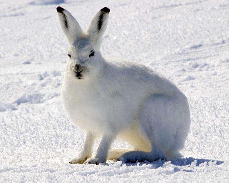 Arctic hare - Wikipedia, the free encyclopedia