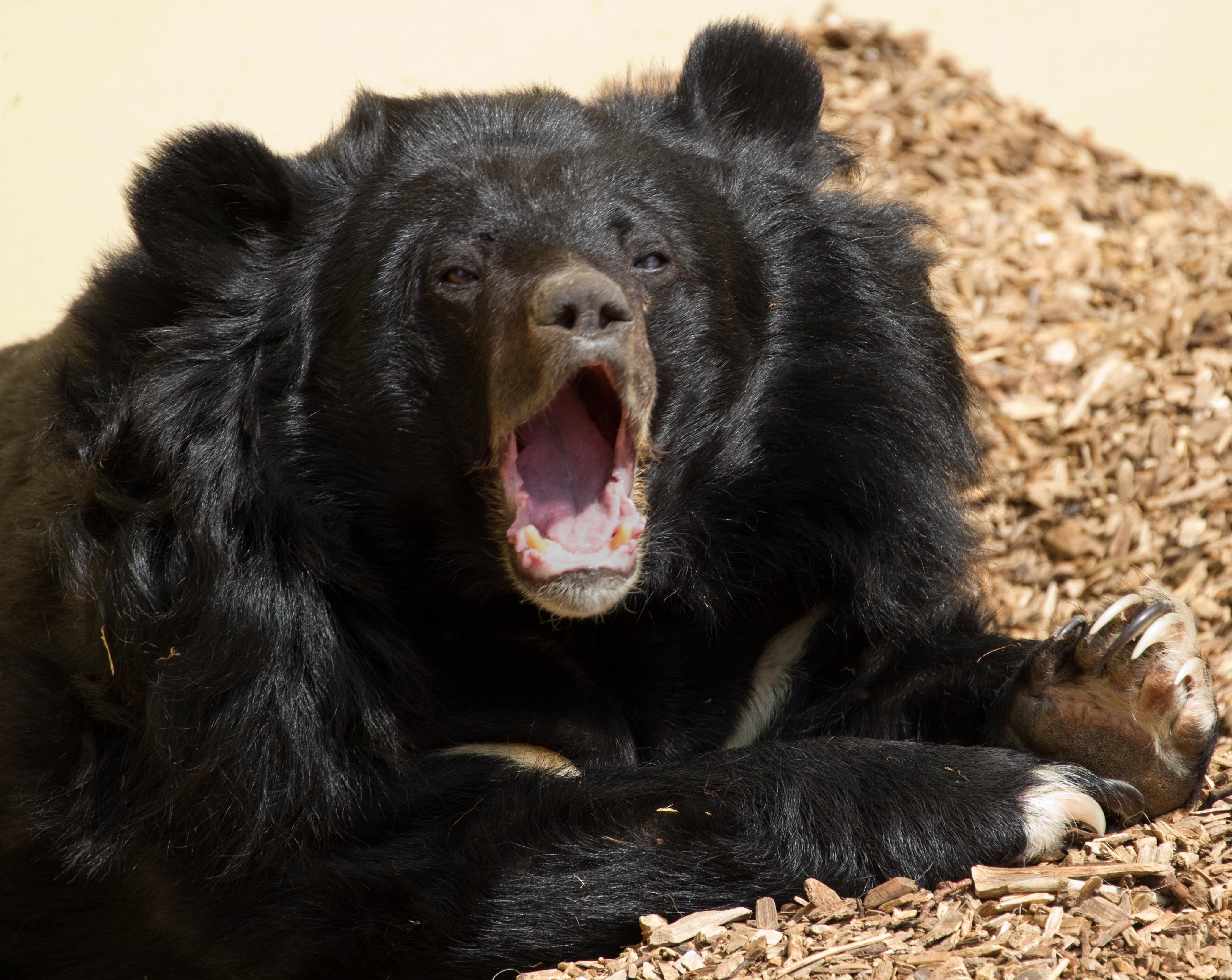 file asiatic black bear 6964668080 jpg wikimedia commons