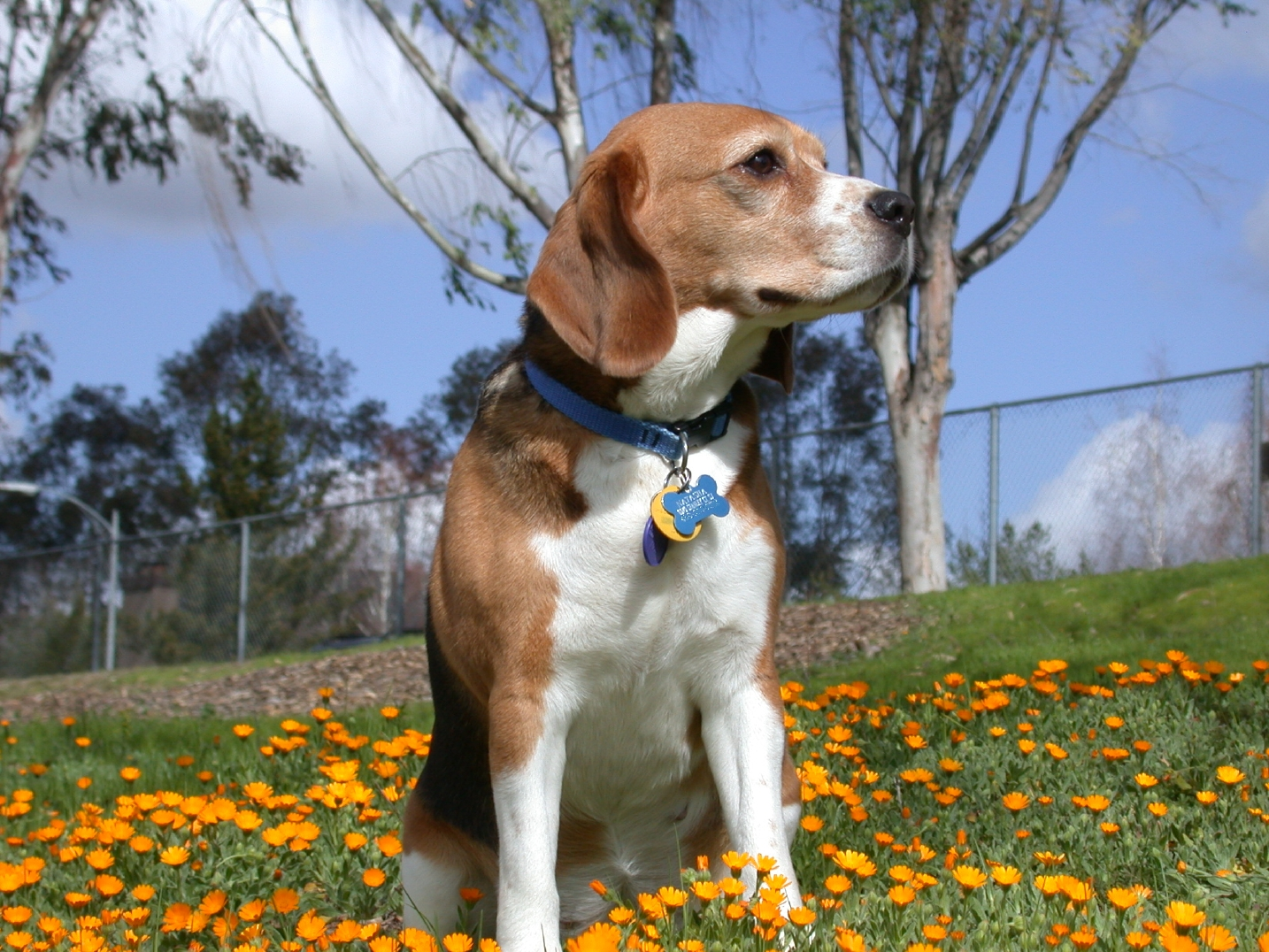 Beagle Dog Images Free