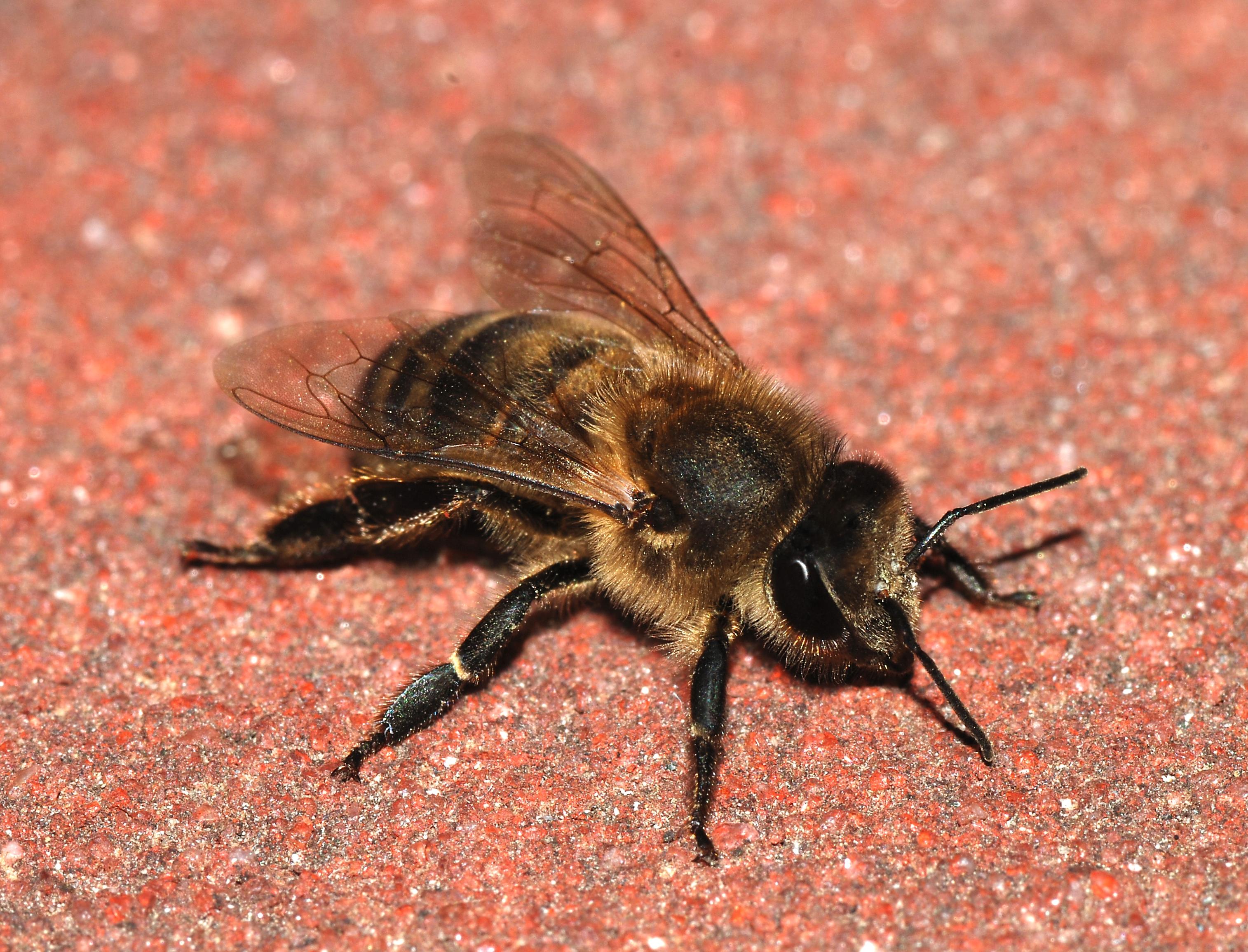 A honeybee (Apis mellifera)
