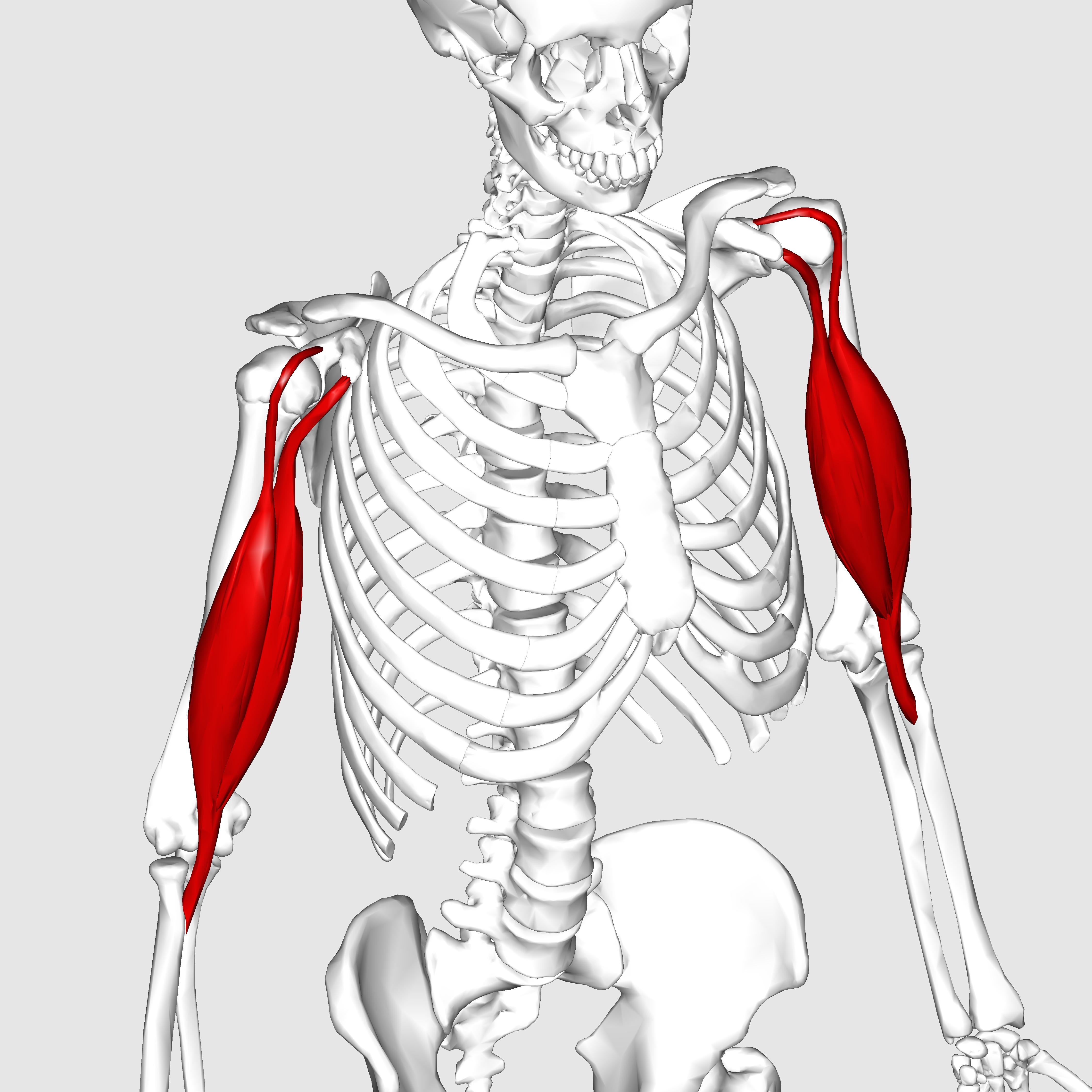 biceps brachii - klejonka, Human Body
