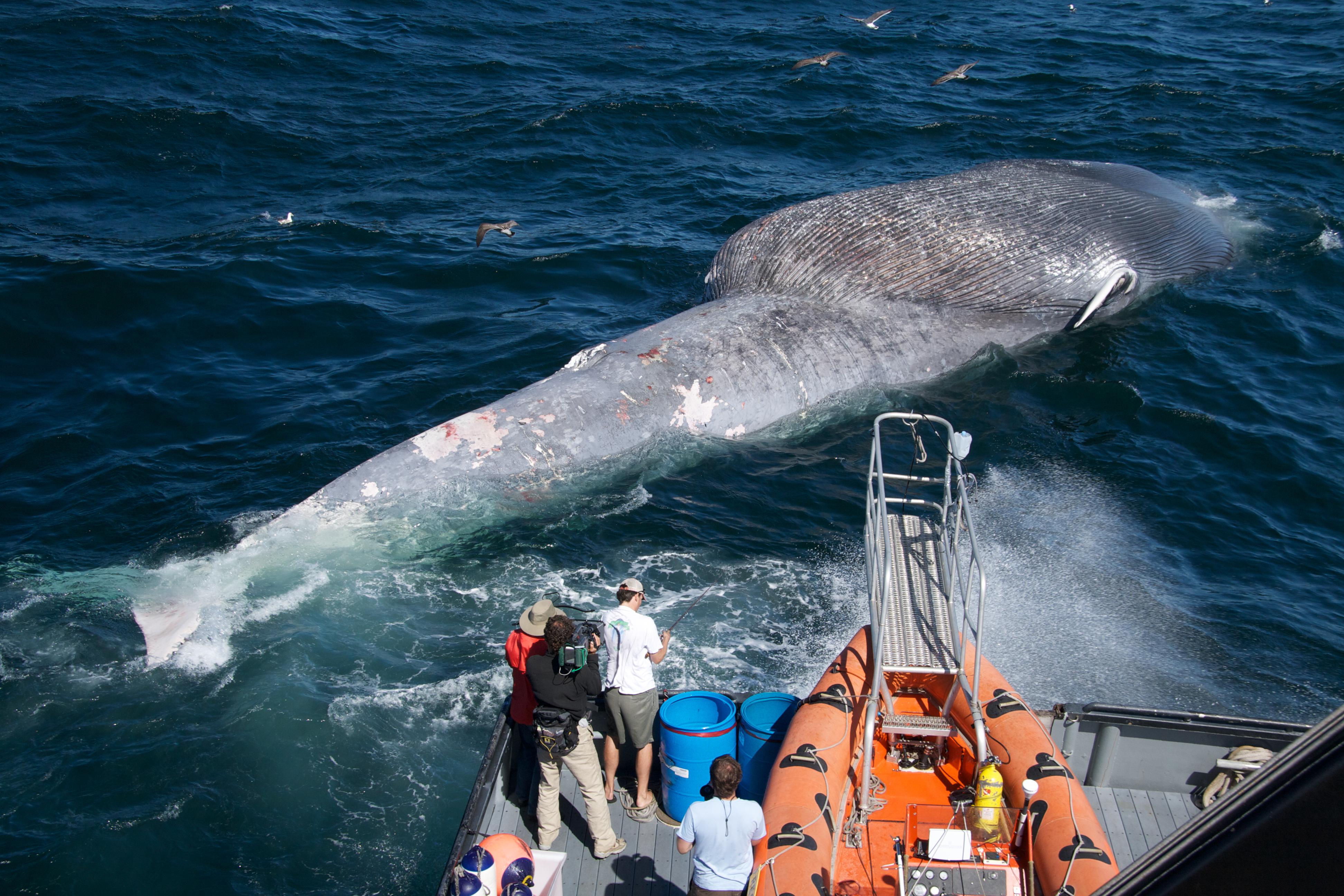 File:Blue whale ship strike death.jpg - Wikimedia Commons