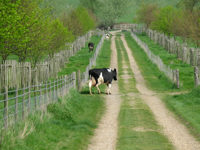 File:Cow on Chart Avenue - geograph.org.uk - 1272634.jpg