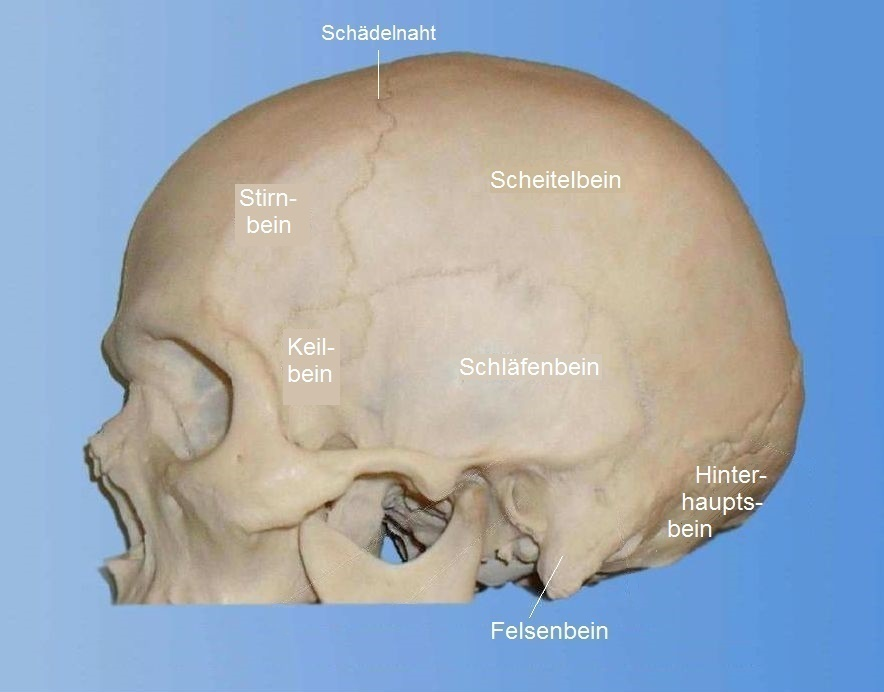 Schädel – Wikipedia