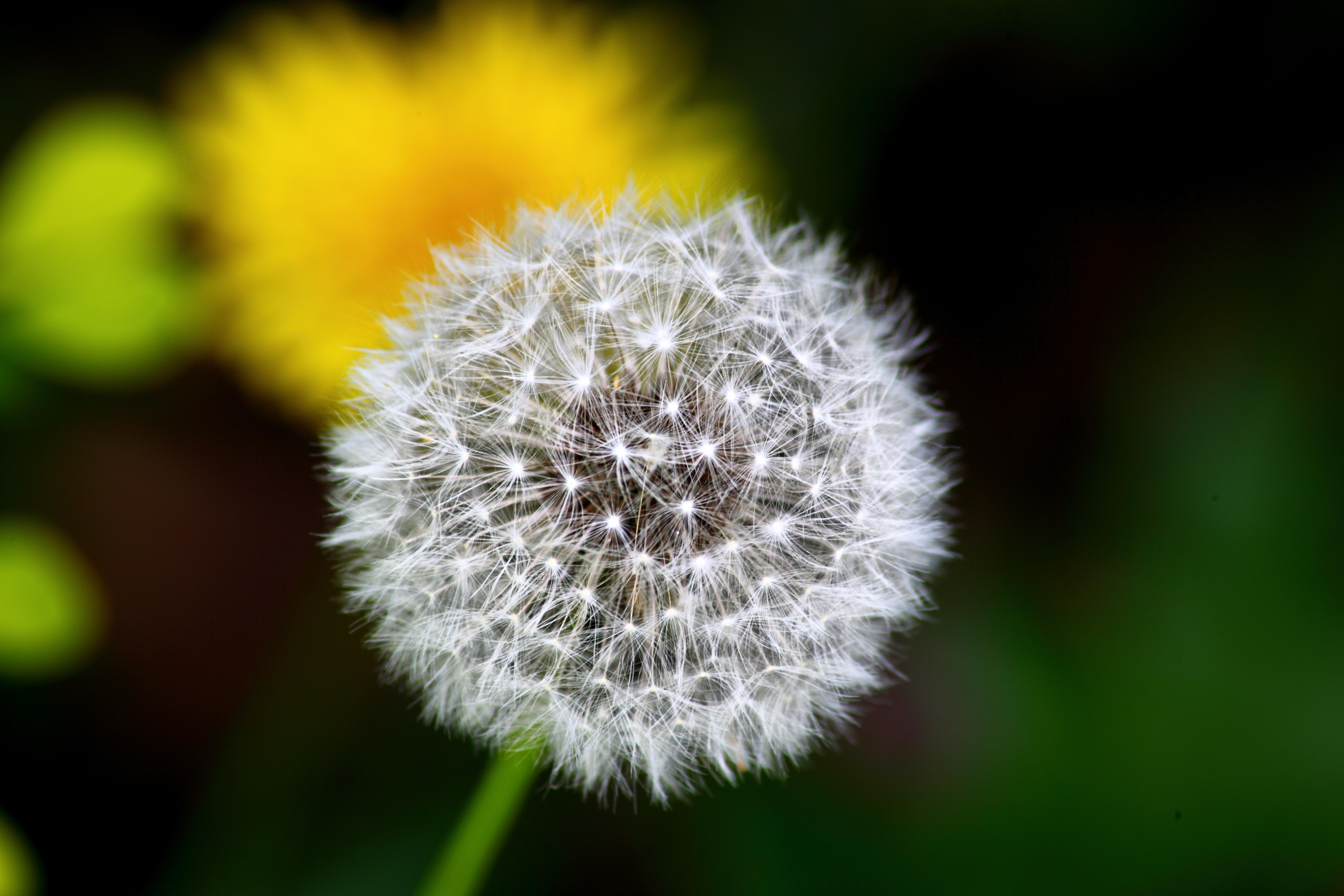 Description Dandelion-macro - Virginia - ForestWander.jpg