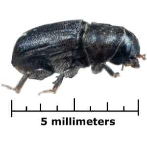 Bark beetle subfamily of insects