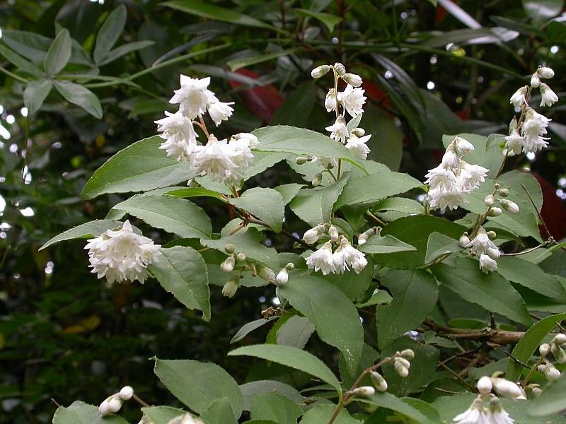 deutzia aux fleurs blanches