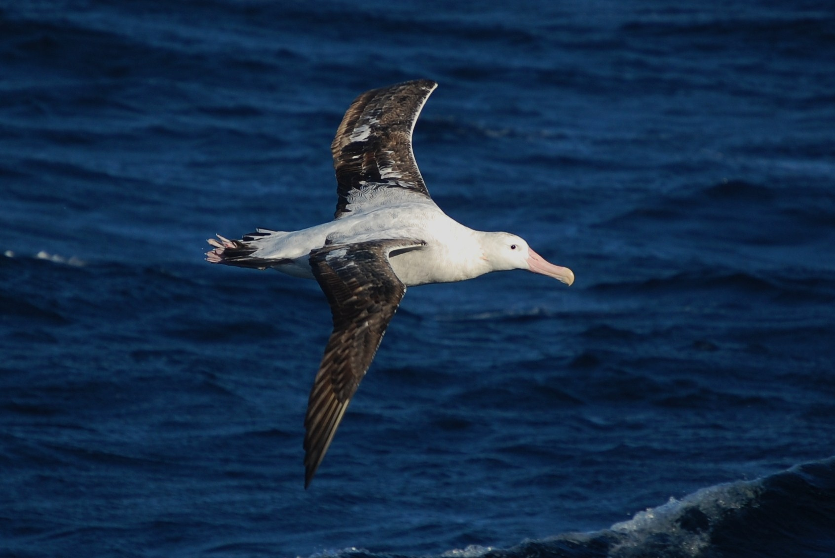 A wandering albatross in flight