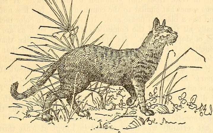 Egyptian wildcat
