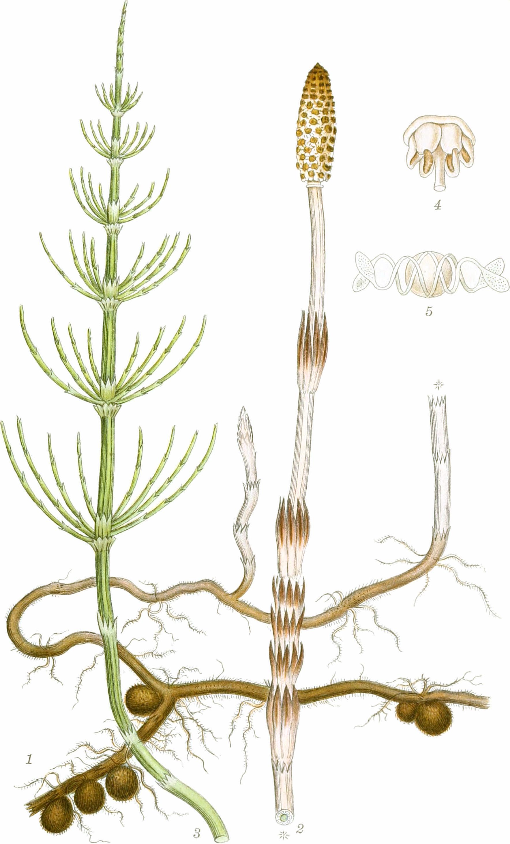 Datei Equisetum Arvense Billeder Af Nordens Flora V2 1917 19750676683 Clean Jpg Wikipedia