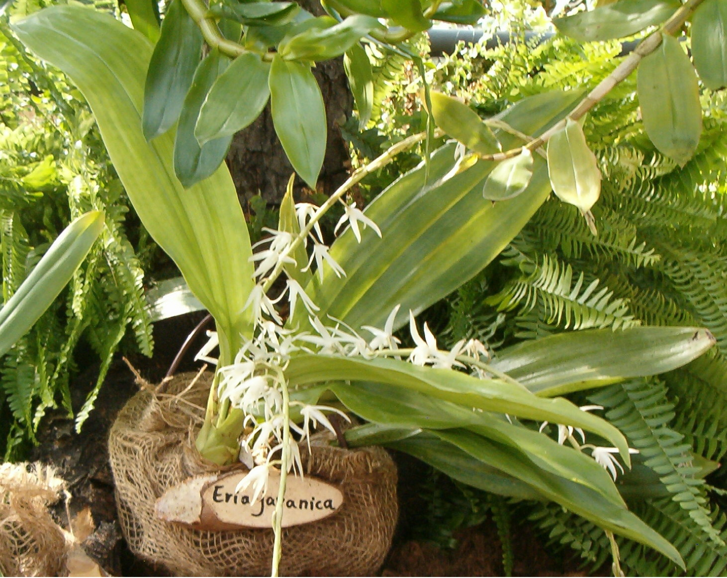 http://upload.wikimedia.org/wikipedia/commons/e/e3/Eria_javanica_OrchidsBln0906.jpg
