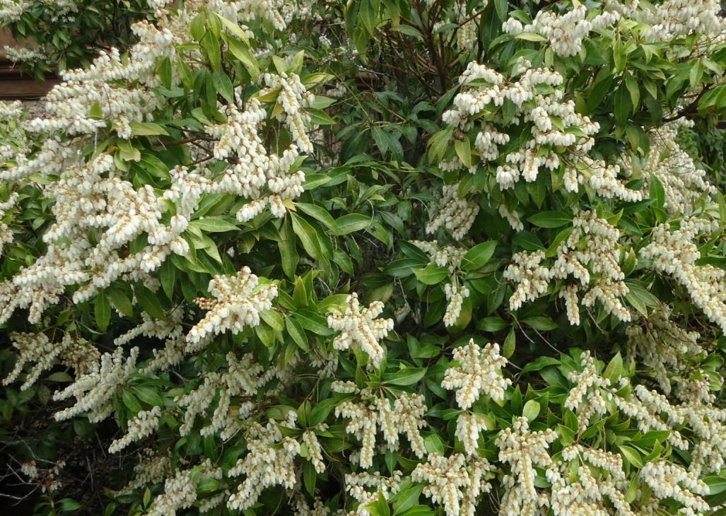 Flowering Shrubs Texas