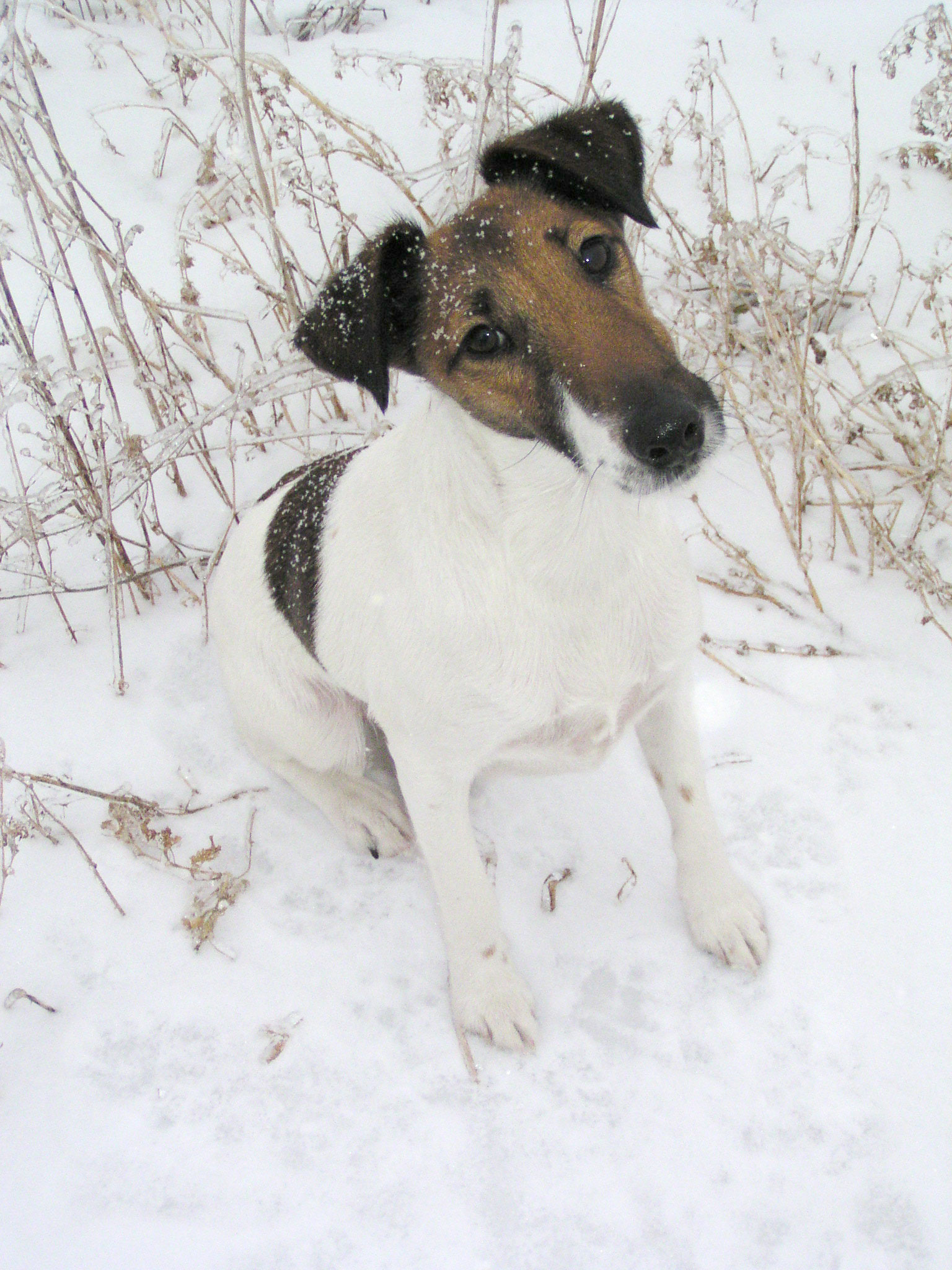 File:Fox terrier smooth.jpg - Wikimedia Commons