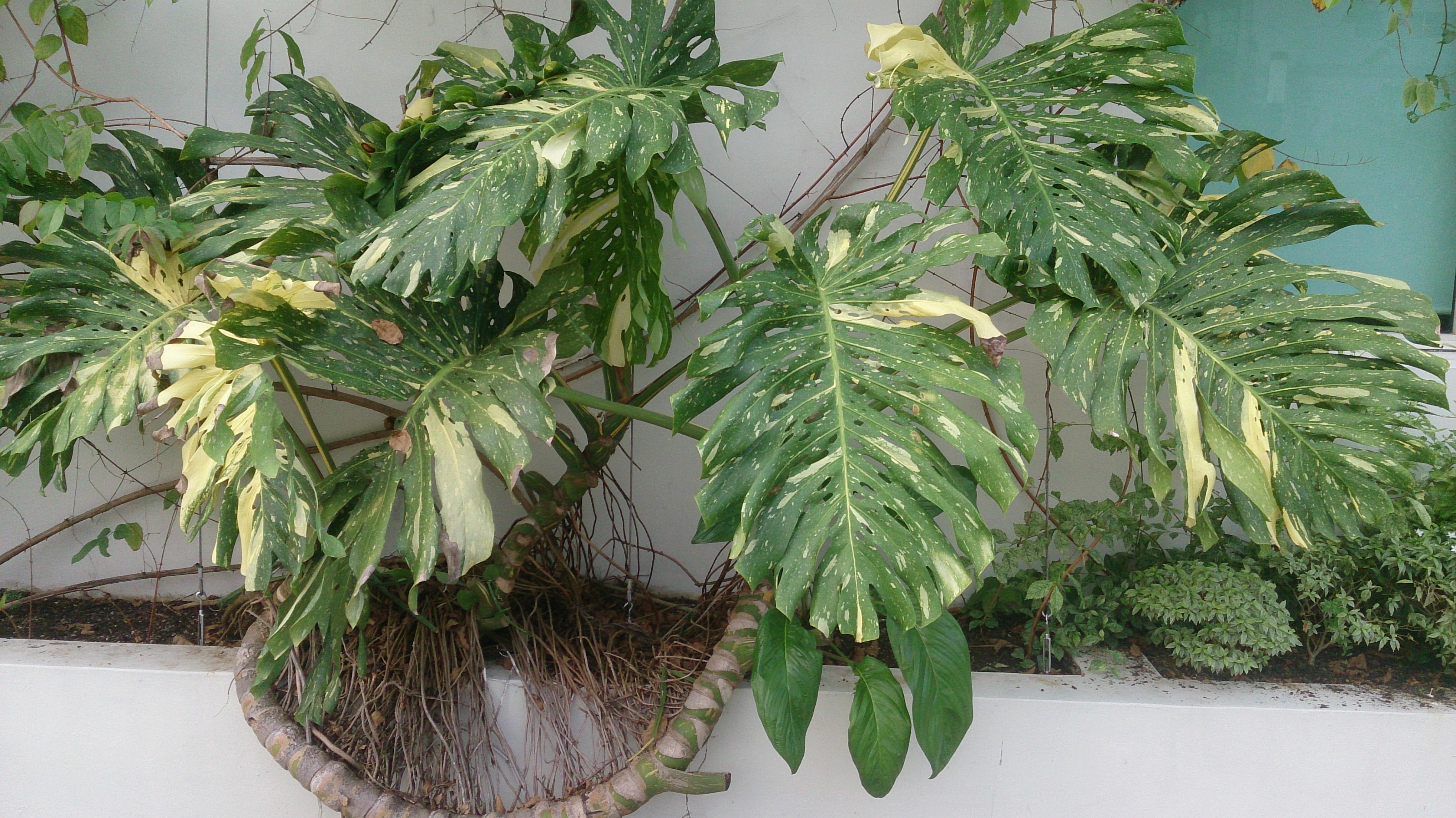 file fruit salad plant monstera deliciosa 39 albo variegata. Black Bedroom Furniture Sets. Home Design Ideas