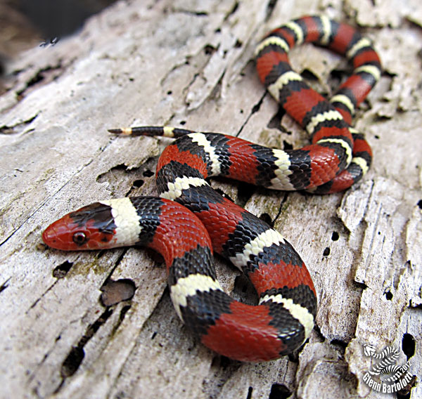 Image result for scarlet king snake