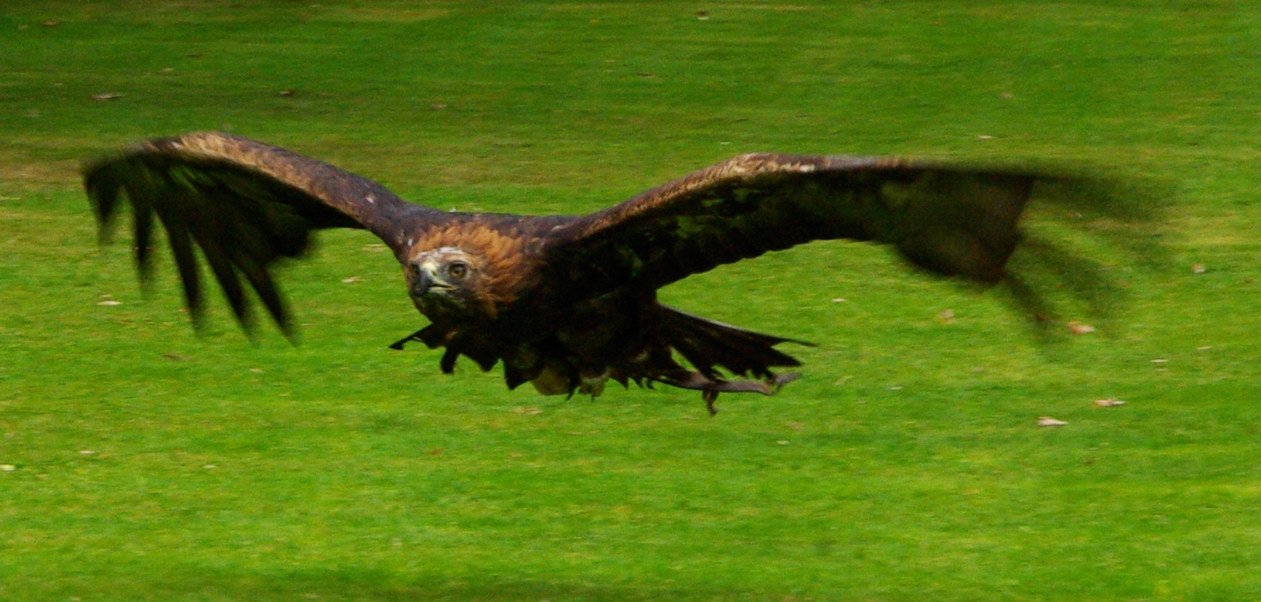 File:Golden eagle in flight.jpg - Wikimedia Commons