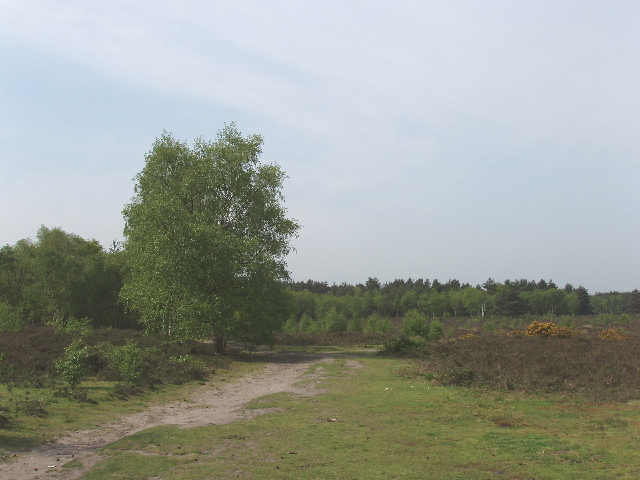 Heathland and birch tree, Horsell Common - geograph.org.uk - 168433