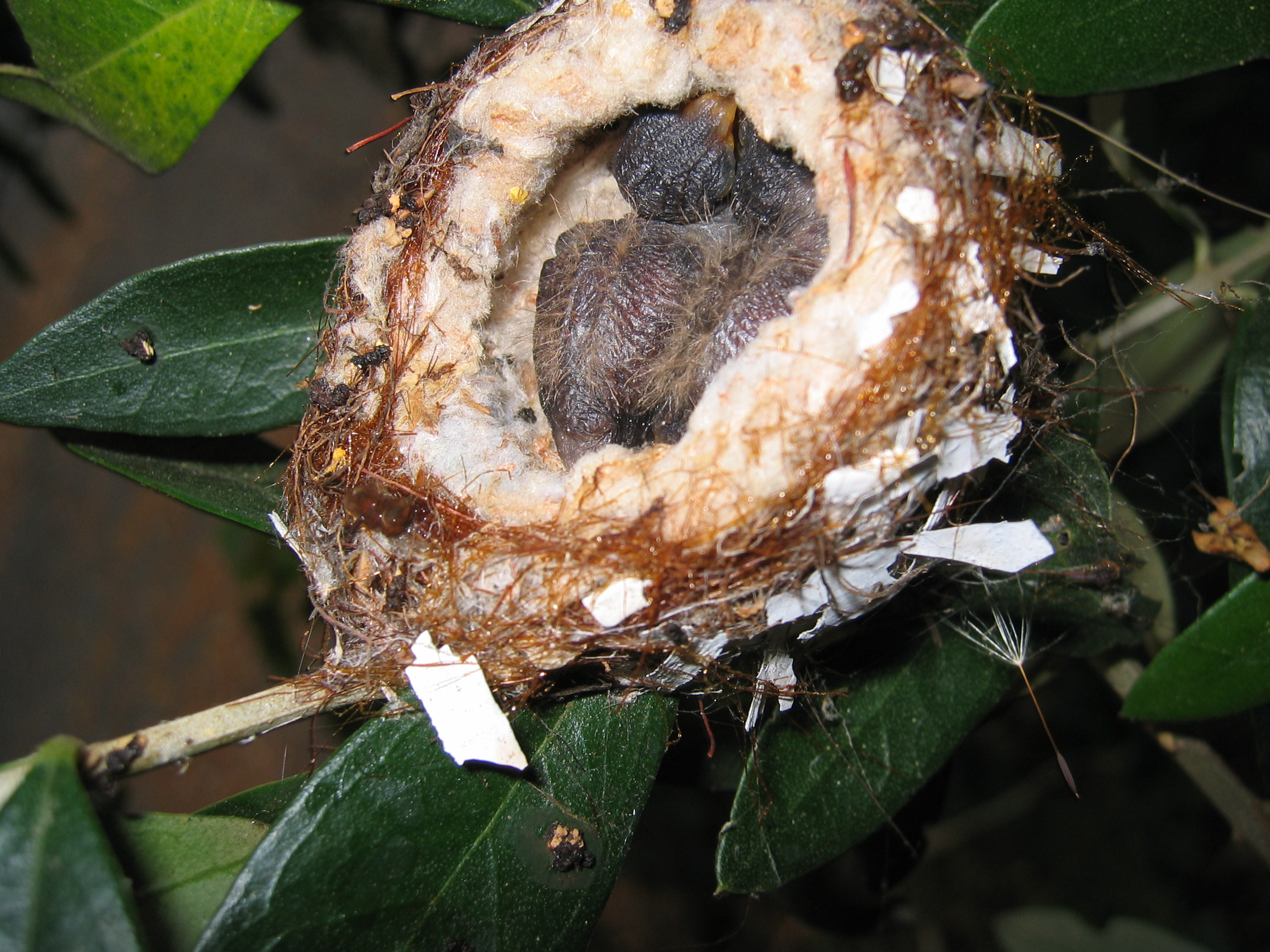 Hummingbird Nest Facts For Kids
