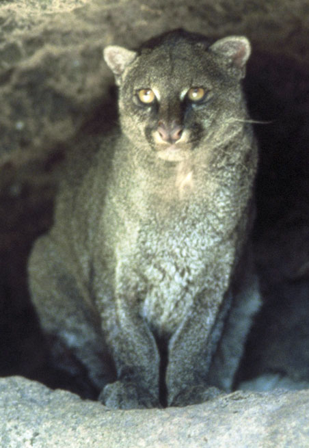 The average litter size of a Jaguarundi is 2