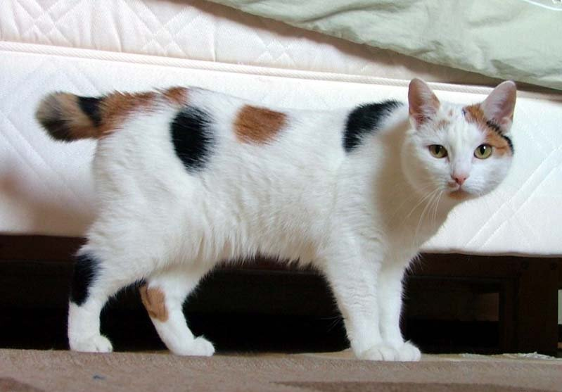 [تصویر:  Japanese_Bobtail_looking_like_Manx.jpg?uselang=fa]