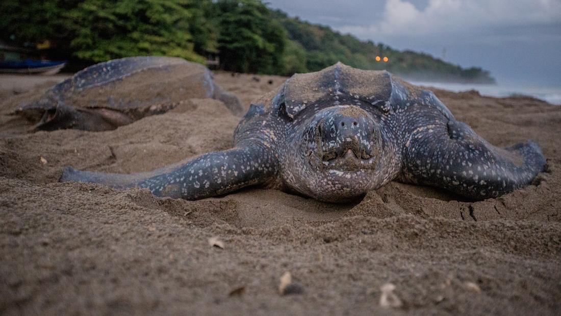 Leatherback turtle in Grande Riviere, Trinidad