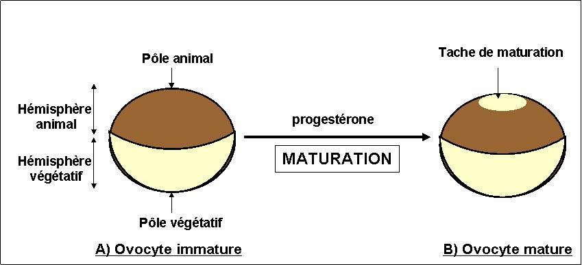 File:Maturation ovocyte xenope.jpg - Wikimedia Commons
