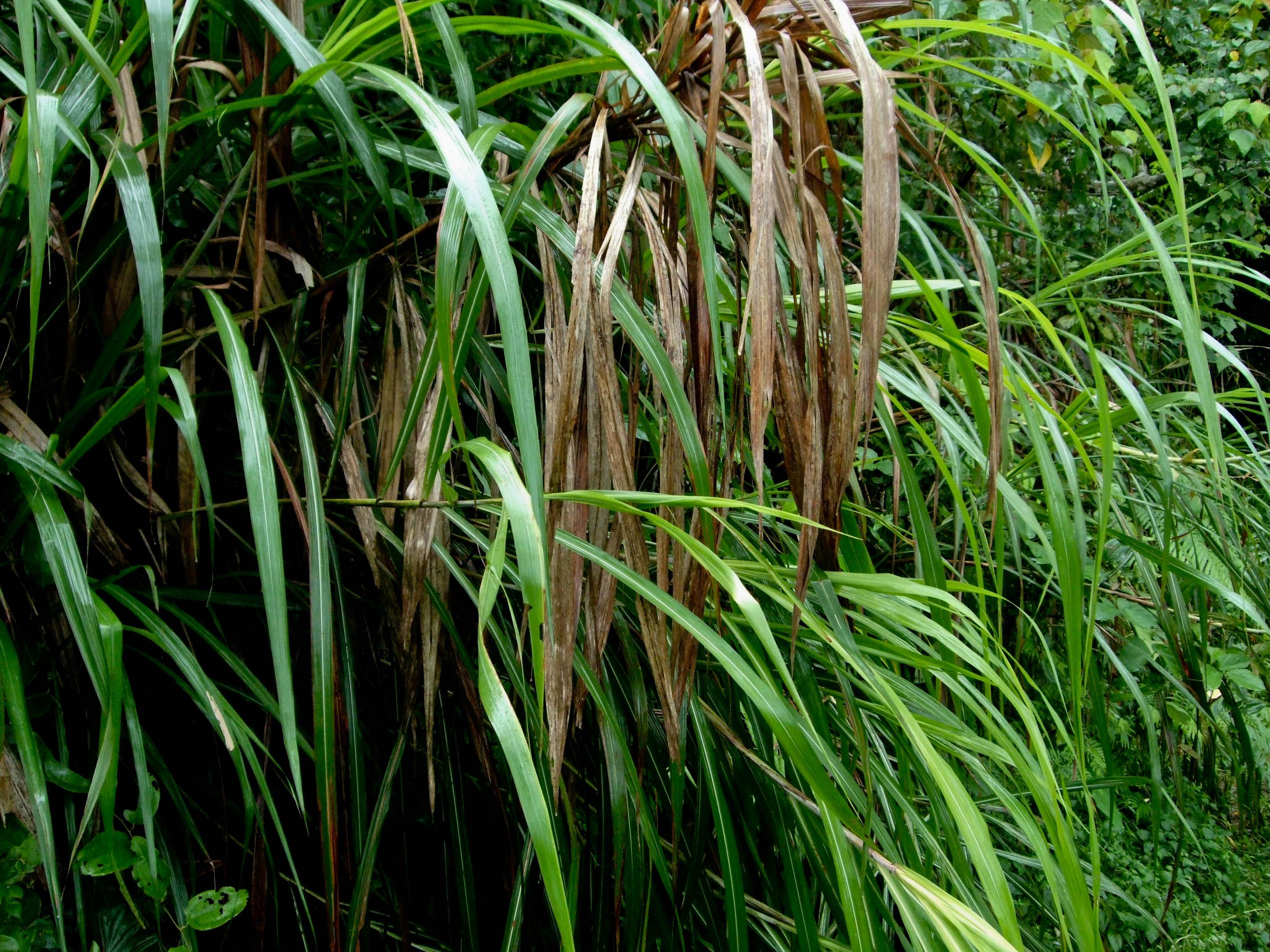 Miscanthus sinensis 2010-07-27 060 01.jpg