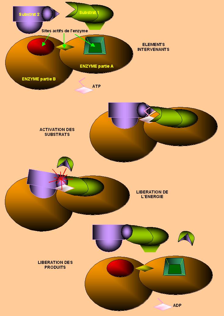 Protides  Structures Protidiques  U2014 Wikiversit U00e9