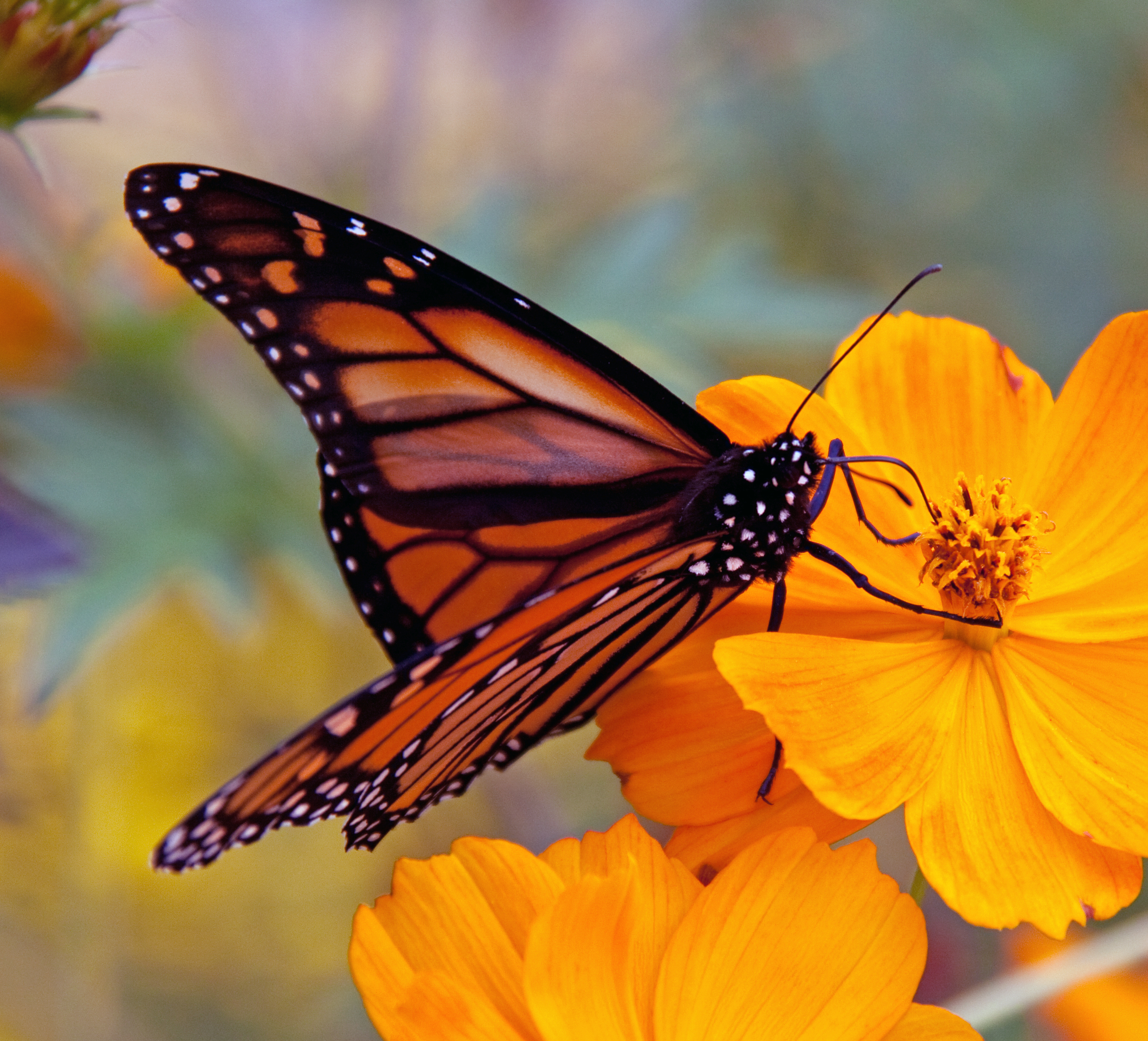 Monarch Butterfly Populations Continues To Decline • Utah ... - photo#18