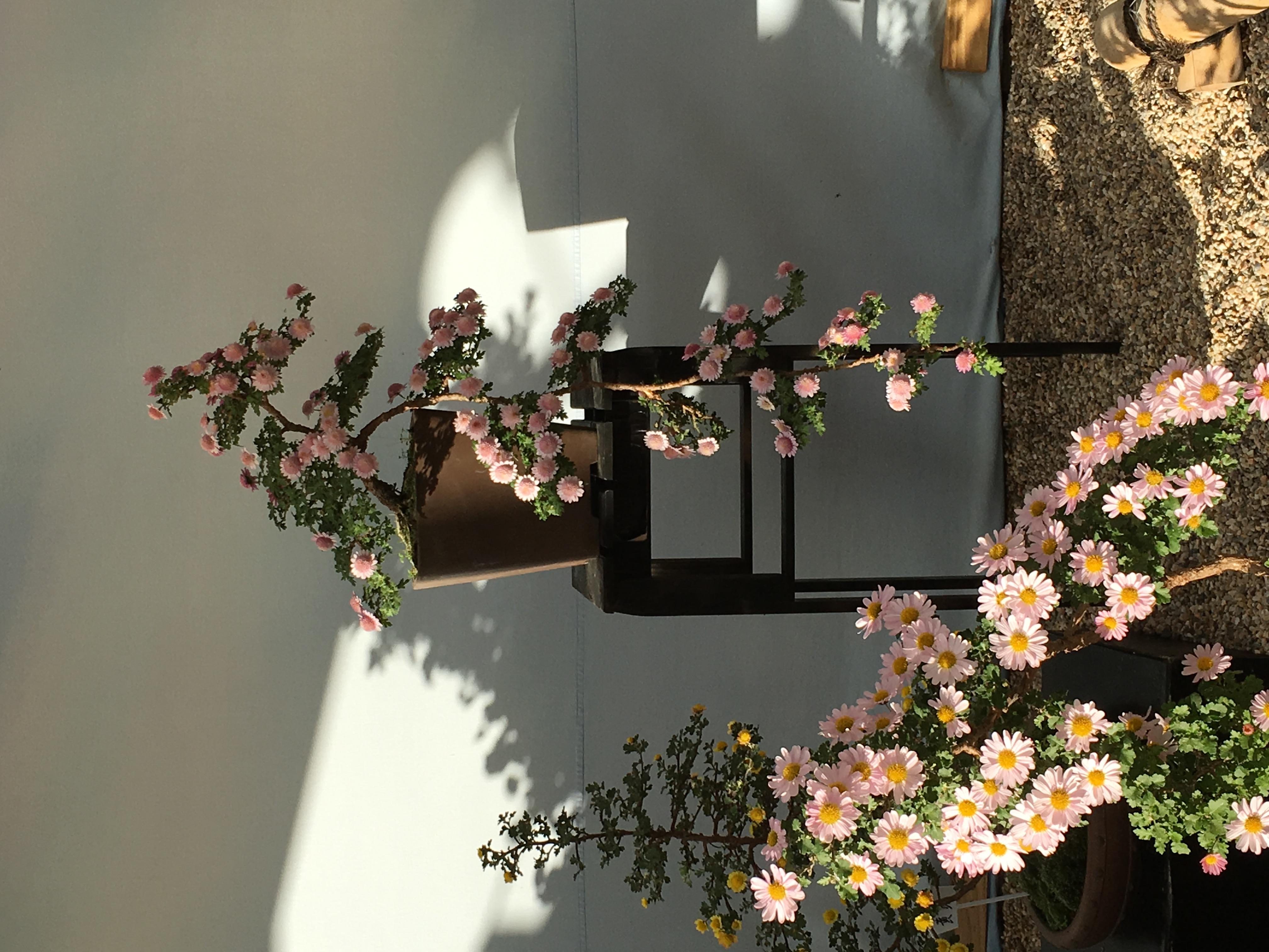 Chrysanthemum Bonsai Wikiwand