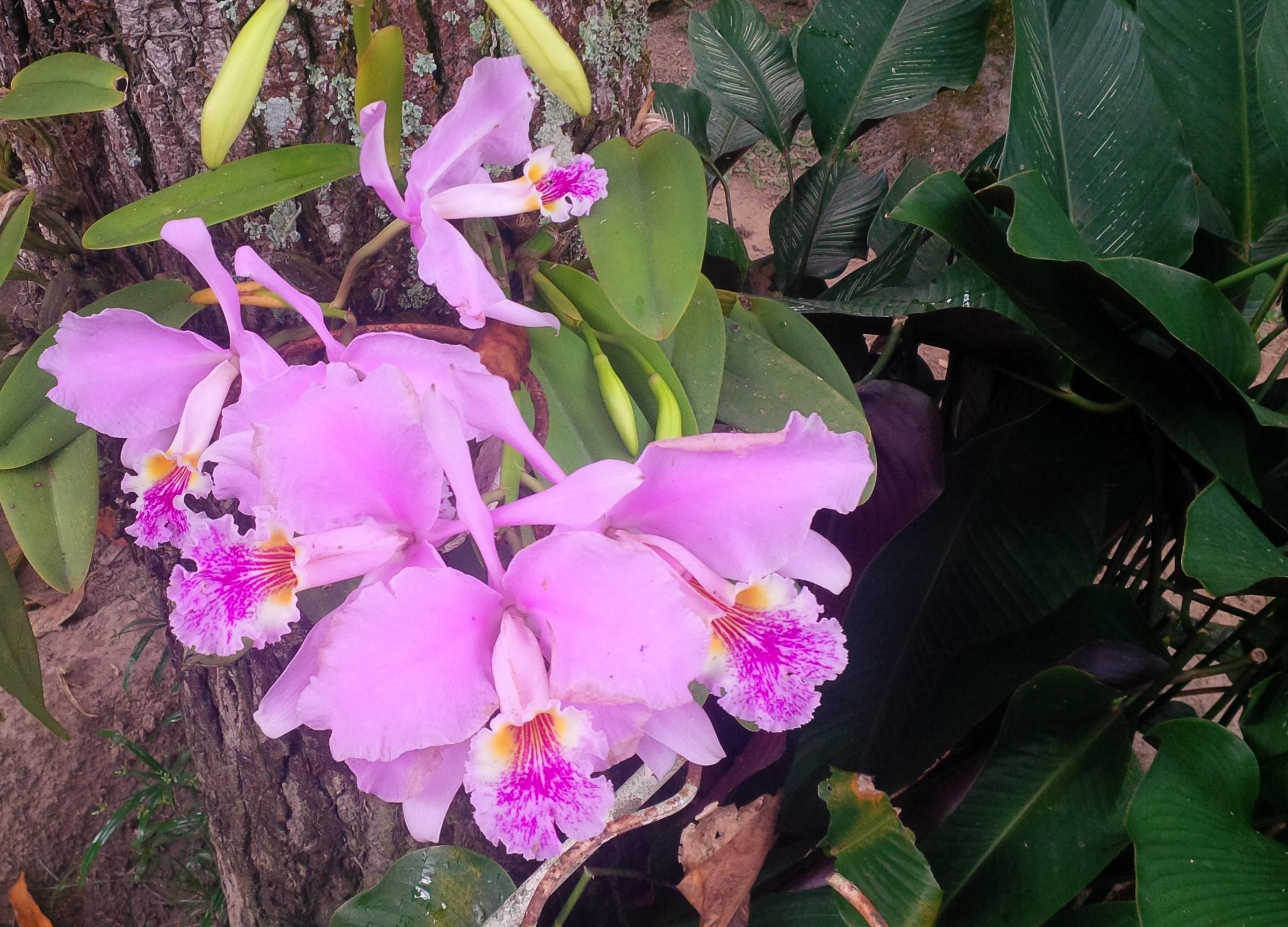 Fileorquídea Cattleya Mossiaejpg Wikimedia Commons
