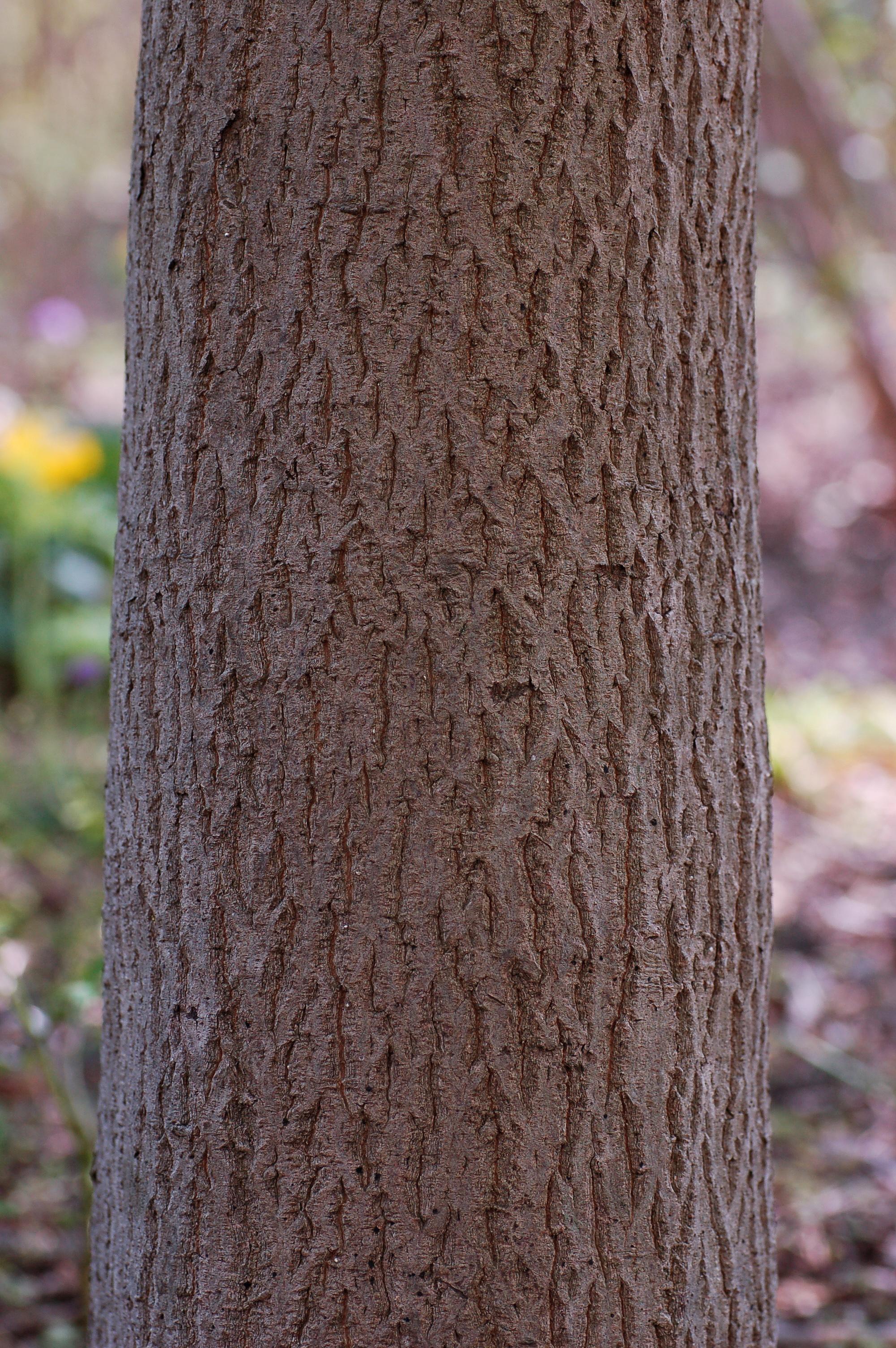 File pagoda tree cornus alternifolia trunk for Tree trunk uses