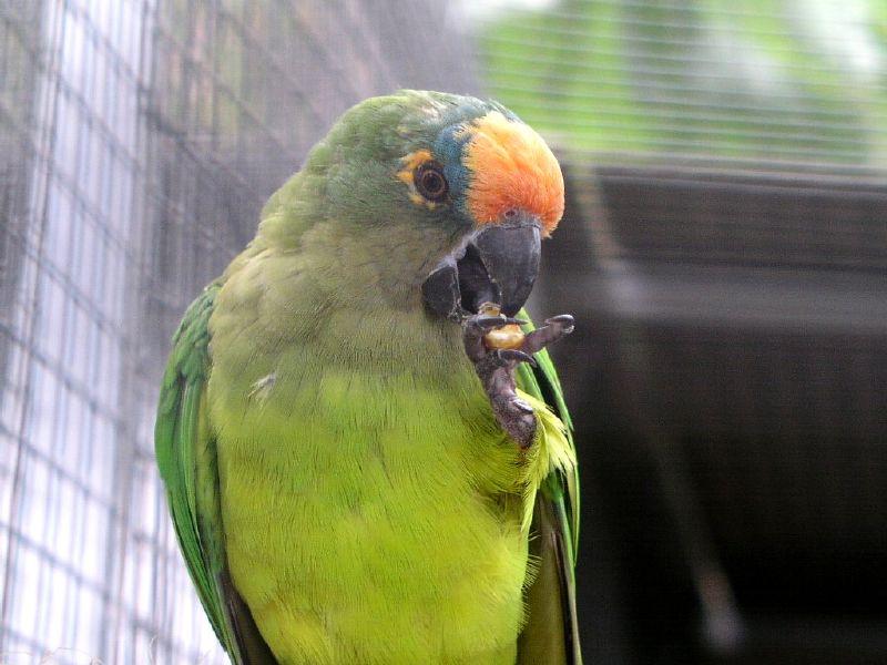 Ficheiro:Peach-fronted Parakeet - Jardim dos Louros, Funchal, Madeira.jpg
