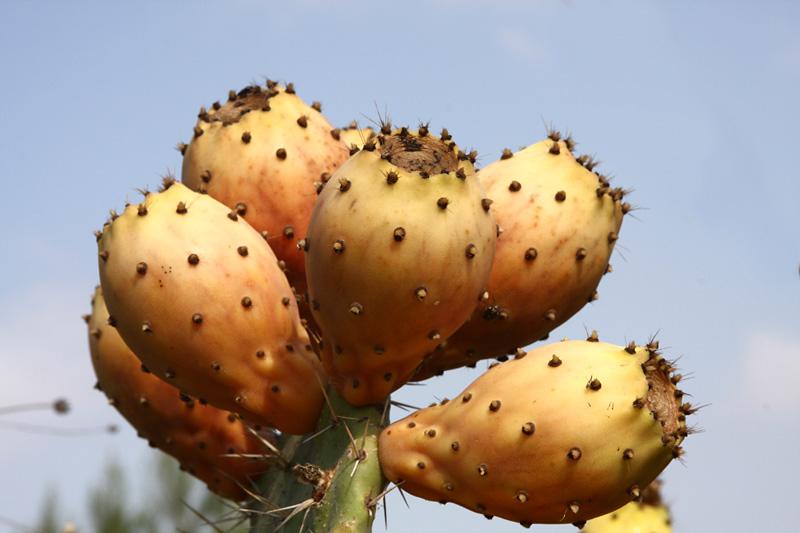 צבר מצוי - תבלין, צמח רפואי, צמח פולש