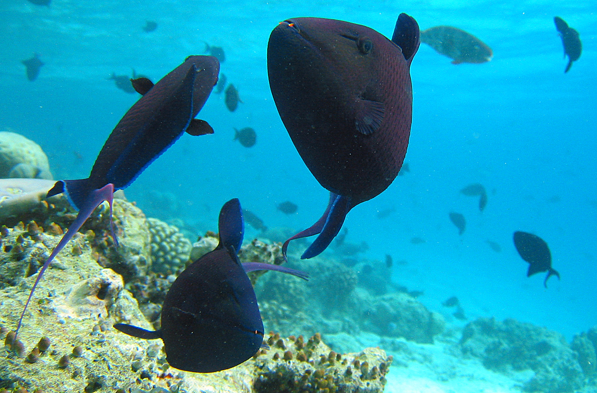 redtoothed triggerfish wikiwand