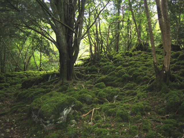 Arquivo: Reenadinna Yew Wood1.jpg