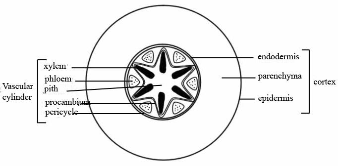 Monocotyledon  Wikipedia