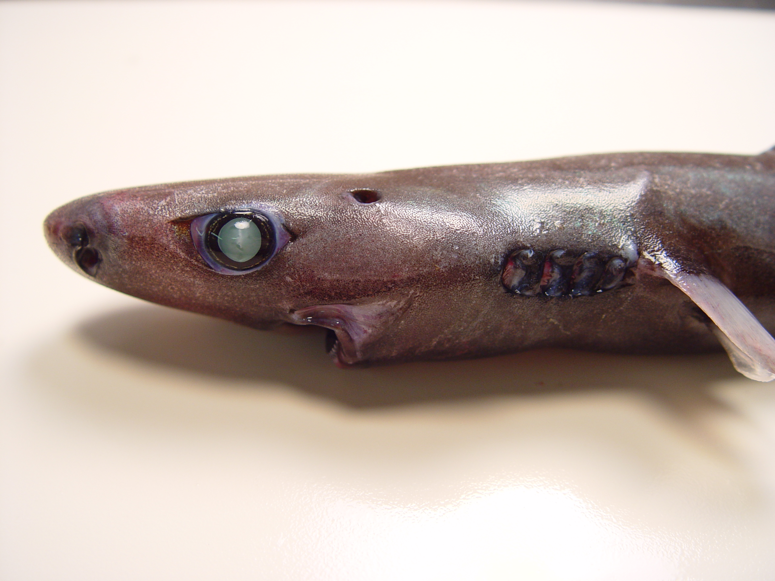 https://upload.wikimedia.org/wikipedia/commons/e/e3/Smooth_lanternshark_nmfs2.jpg