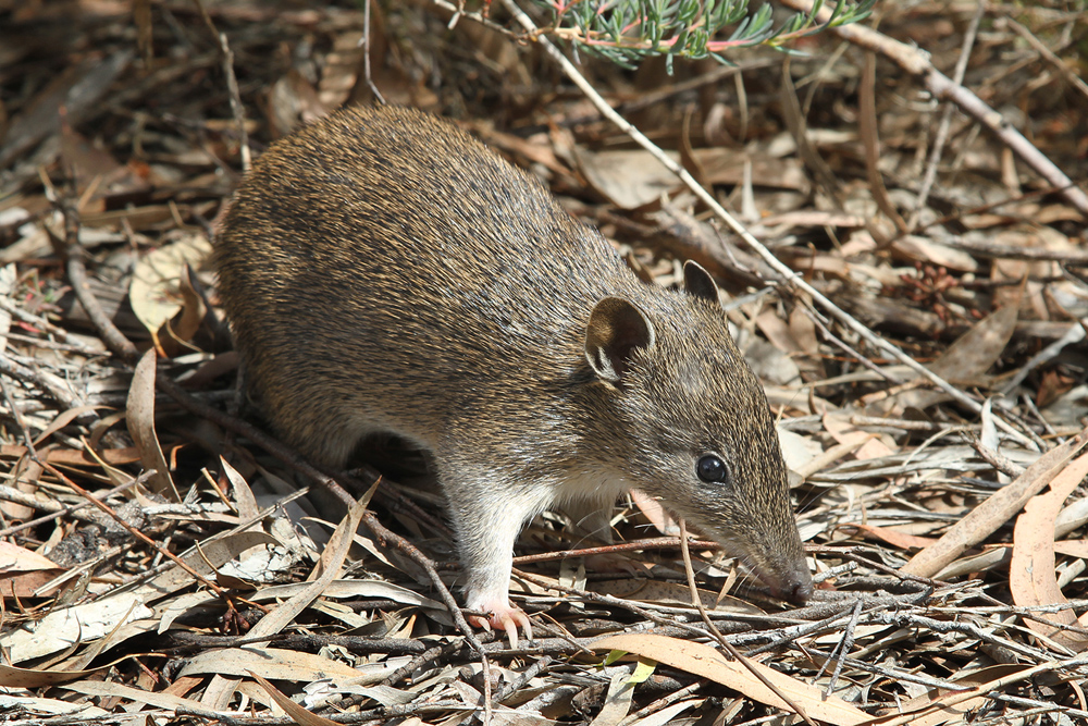 https://upload.wikimedia.org/wikipedia/commons/e/e3/Southern_Brown_Bandicoot_%28Isoodon_obesulus%29_2%2C_Vic%2C_jjron%2C_09.01.2013.jpg