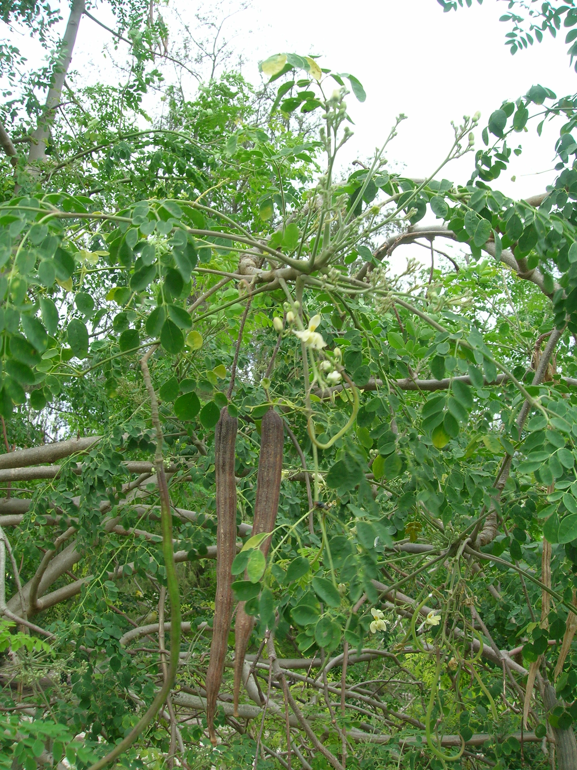 File starr 080610 9534 moringa wikimedia for Plante curry