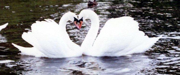 Ficheiro:SwansHeart.jpg